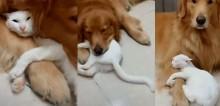 Gatinho é filmado agarrado em golden retriever e vídeo viraliza; confira