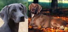 Cães da raça weimaraner: conheça 10 fatos sobre esse cachorro tão adorável