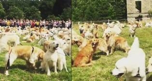 Um mar de Goldens - 361 cães juntos para comemorar aniversário de 150 anos da raça (Veja o Vídeo)