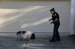 Porco perdido persegue policial - e insiste em se tornarem amigos