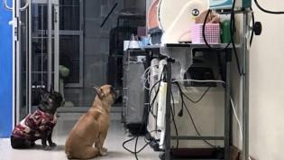 """Vídeo de cachorrinhas """"enfermeiras"""" super atenciosas está encantando a internet"""