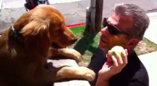 Cachorra fica no muro de casa jogando sua bolinha para pedestres
