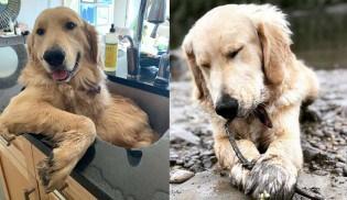 Esse cão golden só aceita tomar banho na pia da cozinha