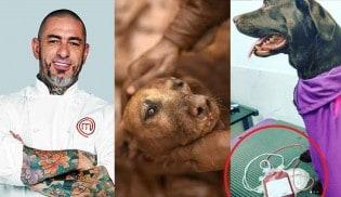 Chef Fogaça doa sangue de sua cachorrinha aos animais de Brumadinho