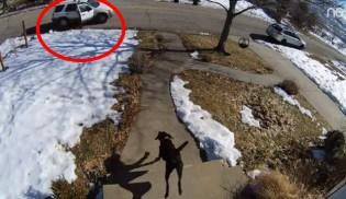 Cão que sempre foi dócil defende sua casa de ladrão (veja o vídeo)