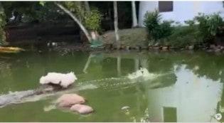 Cão persegue pato em lago de Porto Alegre