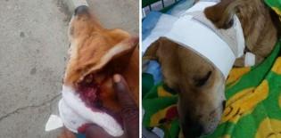 Cão tenta espantar bandido e acaba esfaqueado no pescoço em SP