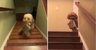 Esse cão só consegue dormir se ficar com seu cobertorzinho ou um brinquedo