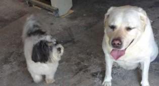 Cachorro furtado no ABC é encontrado com ajuda de labrador