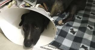 Bandidos cortam pata e rabo de cadela durante furto a residência no interior do RS