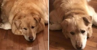 Veterinário salva cão super-obeso após dono ameaçar sacrificá-lo