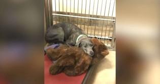 Cadela abandonada em abrigo superlotado se agarra à única coisa que lhe resta: seu ursinho de pelúcia