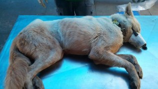 Cão da raça Akita maltratado e rejeitado por 2 famílias é adotado por casal