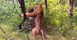 Turistas registram luta entre dois tigres machos por uma fêmea e vídeo viraliza