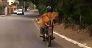 Cachorro rouba a cena ao ser visto em garupa de moto no RJ