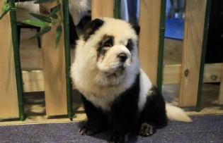 Cafeteria chinesa é criticada por pintar cachorros para parecerem pandas para atrair clientes