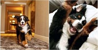 """Cão de hotel é autorizado a fazer """"bagunças"""" com hóspedes e vira sucesso"""