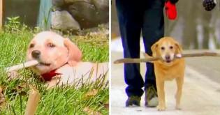 Cãozinho peculiar 'adota' um graveto e o cuida há cinco anos