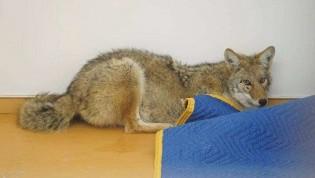 Motorista presta socorro a animal acreditando ser um pastor alemão, mas era um coiote