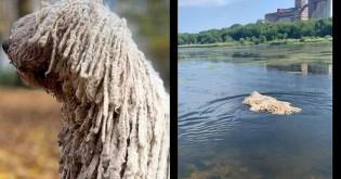 Cadelinha de raça exótica é confundida com vassoura gigante ao nadar em lago