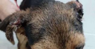 Cachorrinha de 7 meses que teve ferimento grave em sua orelhinha feito pelo próprio dono, é salva por ONG