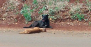 Doguinho de SP protege corpo de amiguinho falecido e rosna para quem chega perto