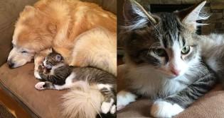Canina golden retriever ganha companhia de gatinho para superar ansiedade: e deu certo