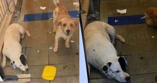 Buscando se refrescar, cães vão até agência bancária, acabam presos e chaveiro os liberta