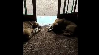 Dono flagra equipe de 6 cães de vigia dormindo em trabalho e vídeo faz sucesso total