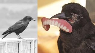 Idoso salva vida de corvo e, como 'agradecimento', ave rouba sua dentadura