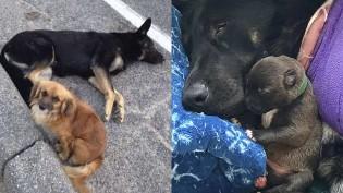 Cão protege cadela grávida de 11 filhotes até ambulância chegar