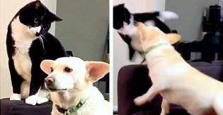 Em vídeo viral, gata bola plano para incomodar cão e recebe vingança