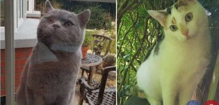 Pretendente insistente: gato vai todos os dias até a casa de gata que o ignora