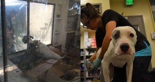 Homem encontra 40 pitbulls abandonados em estado grave em casa vizinha e ONG os resgata