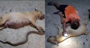 Pitbull grávida morre ao tentar defender família de cobra venenosa e dono fica inconsolável