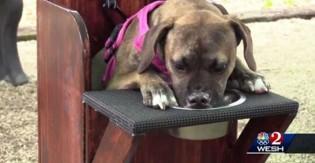 Cachorra vira-lata que sofre com 'megaesôfago' ganha cadeira adaptada para se alimentar com qualidade