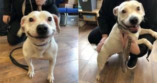 Cachorra bull terrier abandonada em abrigo encanta ao sorrir e gera disputa entre adotantes