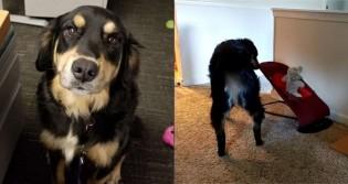 Cadela é flagrada imitando pais balançando bebê em cadeira de balanço e vídeo viraliza