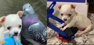 Lembram dele? Cão chihuahua paraplégico amigo de pombo ganha mini cadeira de rodas