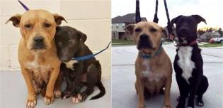 Abandonados em abrigo, pit bulls se mantém ainda mais unidos para confortar um ao outro