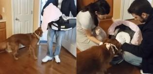 Bombou! Cachorro golden retriever festeja chegada de bebê e agradece donos pelo 'presente'