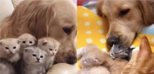 Cadela golden retriever se apaixona por filhotes de amiga gata e ajuda a cuidá-los (veja vídeo)