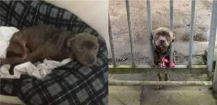 Filhote de pit bull é deixada amarrada em frente à abrigo e comove funcionários com expressão de socorro