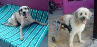 Cachorro paraplégico devido a lesão na coluna se diverte após aceitar usar cadeira de rodas (veja o vídeo)