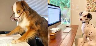 Incentivando o home office na quarentena, conta no Instagram compartiha fotos de pets ao redor do mundo 'trabalhando' de casa
