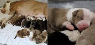 Cadela surpreende dona ao dar à luz a incríveis 20 filhotes e parto dura 24 horas