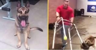 Treinando para ser cão-guia, pastor alemão é reprovado por ser hilariantemente desastrado (veja vídeo)