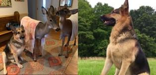 Cachorro pastor alemão é apaixonado por cuidar de animais selvagens órfãos