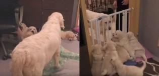 Mamãe golden retriever ensina filhotes uma importante lição sobre paciência
