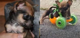 Chihuahua que nasceu sem patas dianteiras ganha carrinho de rodas sob medida
